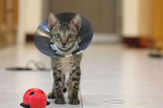 gato-esterilizado-1