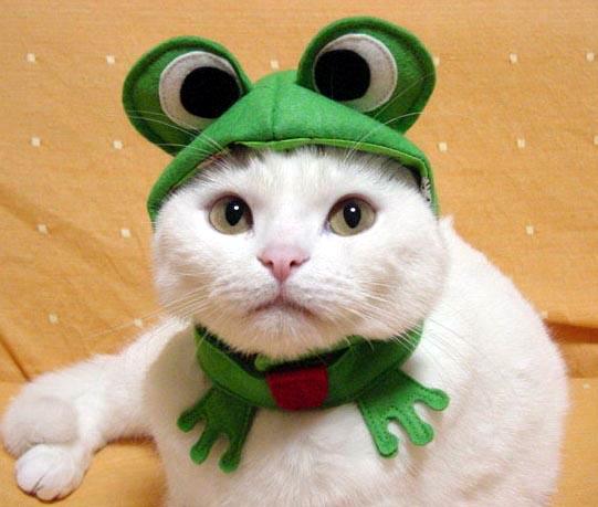 sapo-gato