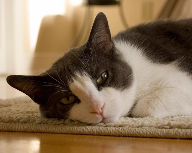 meu-gato-esta-doente-gato-miando-77