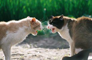 briga-de-gatos-aprenda-como-manter-a-paz-no-lar21836-770x506