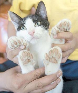 gato-polidactilia-almohadillas