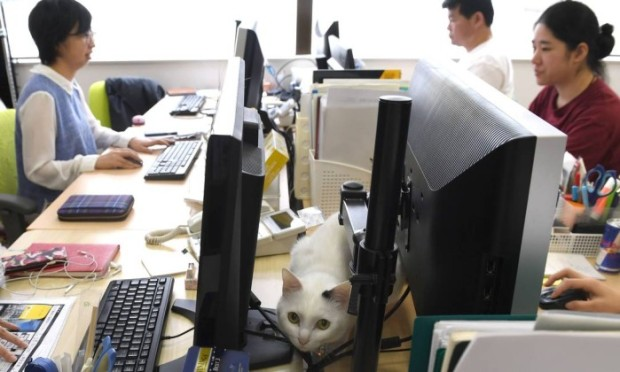 67852451_This-May-16-2017-picture-by-AFPBB-News-shows-a-cat-at-an-IT-office-in-TokyoWorkaholic-Japan