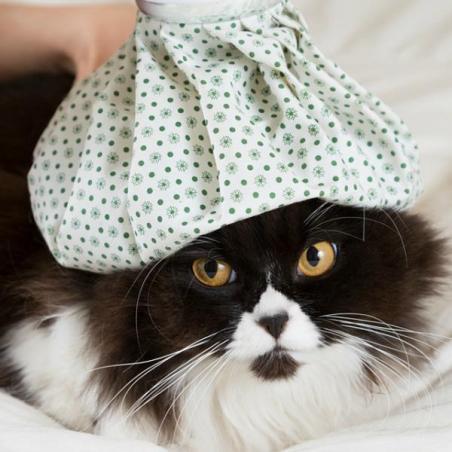 gato febre
