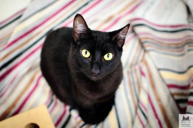 gato-preto-ronrom1