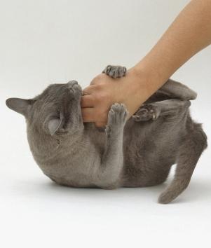 gato-carinho-barriga